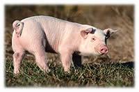 Pourquoi le porc a la cote?