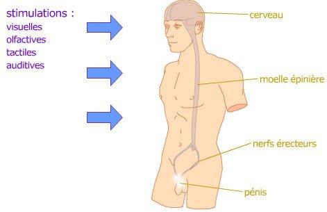 erection mecanisme1