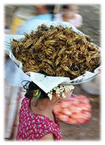 Manger insectes