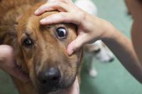 soins des yeux du chien