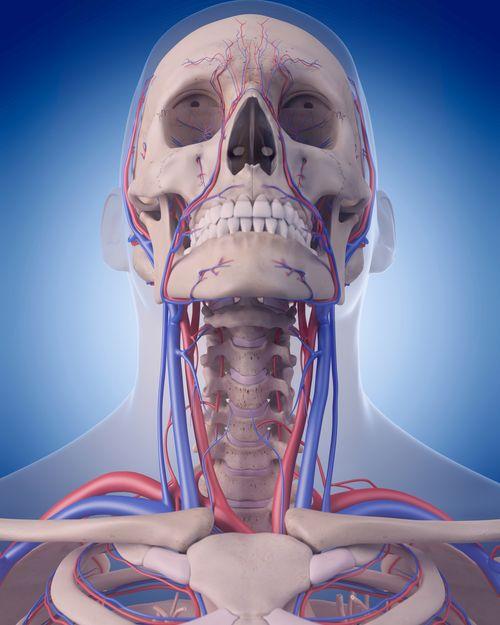 schema anatomique arteres du cou
