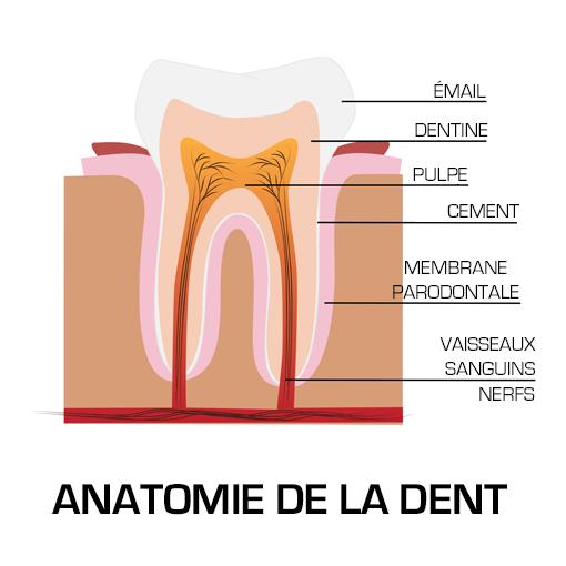 schema de la dent